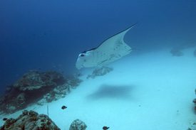 Palau Manta by Bill