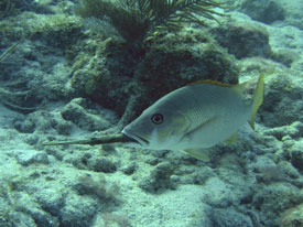 Snapper eats Trumpetfish in Key Largo
