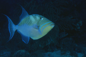 Queen Triggerfish in Turks and Caicos Islands