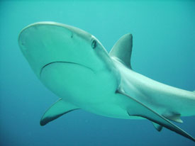 Hawaiian Reef Shark