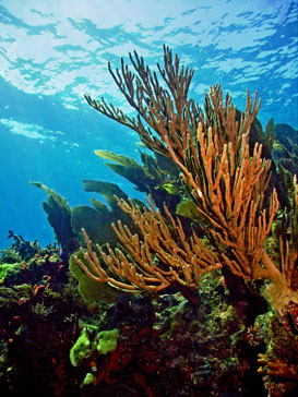 photograph of coral reef in key largo