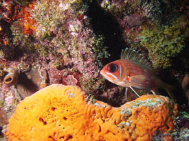 Squirrelfish in Coral