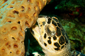 Turtle eating Sponge