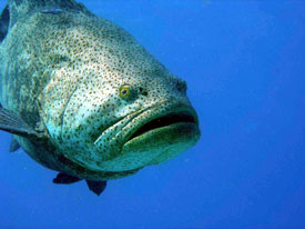 Goliath Grouper by Kelly