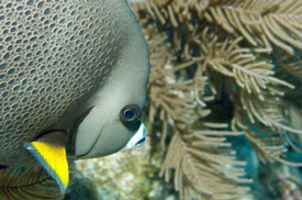 close-up of Gray Angelfish by Bill S