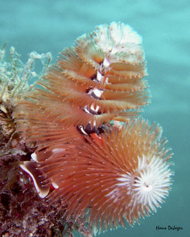 Christmas Tree Worms by Hans D
