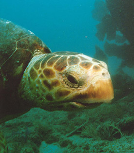 Loggerhead Turtle by Matthew L