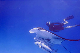 Snorkelling with Manta Ray