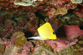 Long Snout Butterflyfish by Greg S