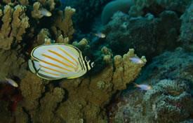 Pacific Butterflyfish by Greg S