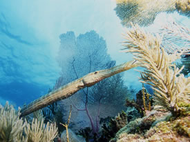 Trumpetfish by Adam D