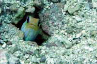 jawfish during scuba instruction